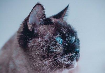 velká falešná kočička