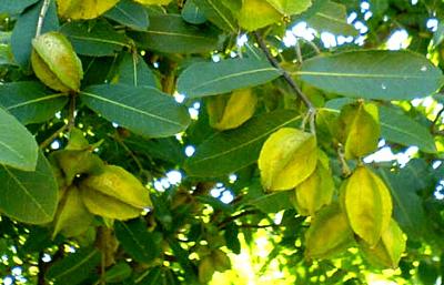 Síla a moc stromu Arjuna
