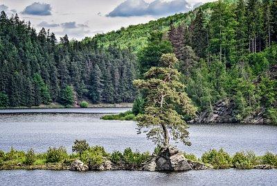 Evropským stromem roku je borovice  z Vysočiny