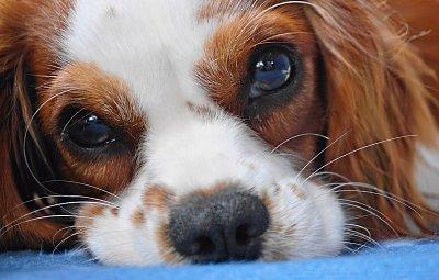 I pes může trpět chřipkou. Jak poznat nemoc a následně ji léčit?