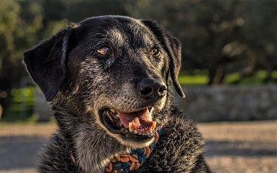 Která psí plemena se dožívají nejvyššího věku a jakými nemocemi staří psi nejčastěji trpí?