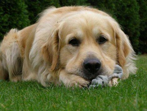 75a8ee45c20 Pes do domácnosti může přinést radost i pohromu